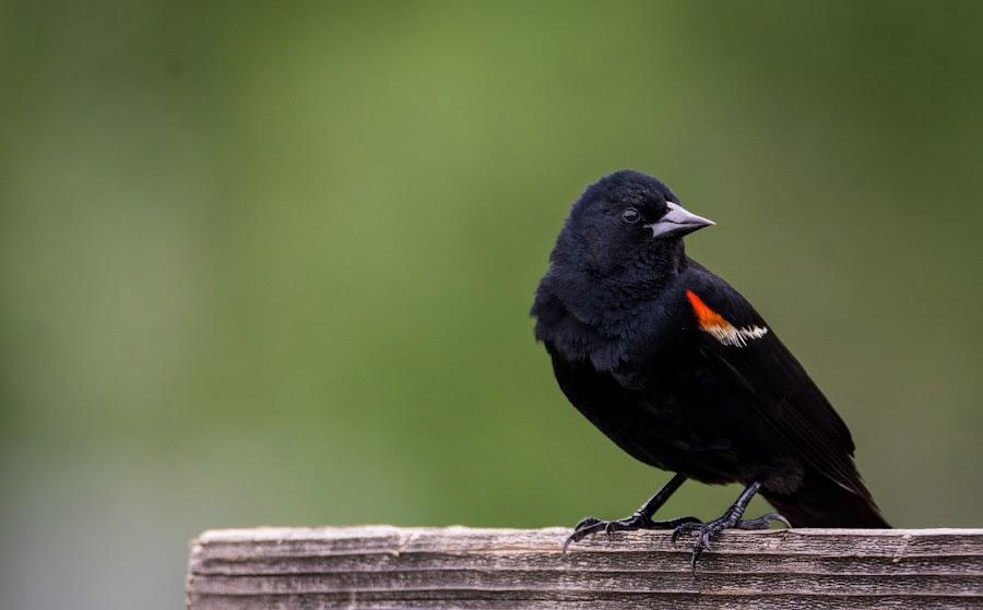 Red-winged Blackbird by Antonio Winston - Novices Only Wildlife ( bird, nature, pop of color, outdoor, beak, wildlife, black bird, perch )