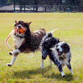 by Shashank Shekhar - Animals - Dogs Playing