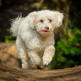 Bertie the Bichon Frise by Jenny Trigg - Animals - Dogs Running ( tongue, bichon frise, woodland, dog, running, photography )