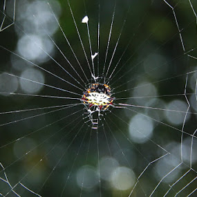 Skull Spider Web by Rio Raseda - Animals Insects & Spiders