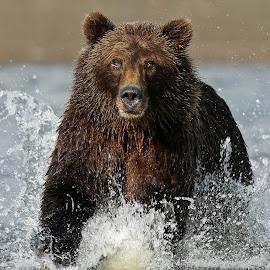 Fishing ! by Anthony Goldman - Animals Other Mammals ( water, bear, wild, alaskan brown, nature, splash, lake clark, wildlife, fishing, mammal,  )