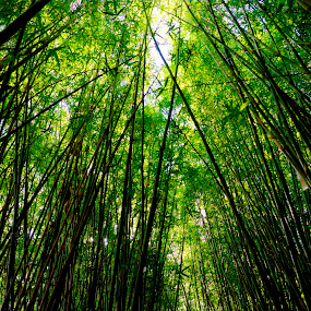 Jungle Canopy by Petra Bensted - Nature Up Close Trees & Bushes ( bamboo, nature, jungle, plantation, light )