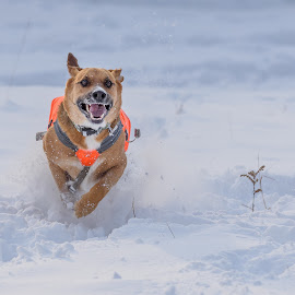 Snowy Fun by John Sinclair - Animals - Dogs Running ( dogs, snow, action, fun, germanshepard )
