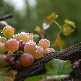 Grapes after rain by Magda Creosteanu - Food & Drink Fruits & Vegetables ( water, fruit, vine, sweet, bio, grains, grapes, autumn, fresh, drops, ripe, wet, harvest, garden, rain )