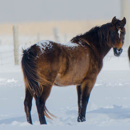 Wind,snow and a Horse by Wilma Michel - Animals Horses ( farm, wind, winter, horse, snow )