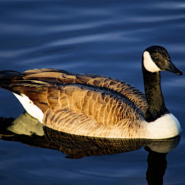 Canadian Goose by Tom Coulam - Animals Birds ( bird, gibson ranch, canadian goose, pond, goose )