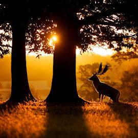 sunrise by Mark Bridger - Landscapes Forests ( uk, nature, fallow, sunrise, landscape, deer )