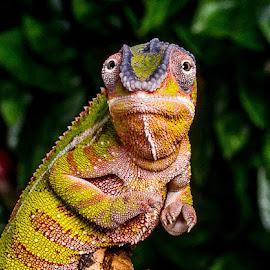 Chameleon by Garry Chisholm - Animals Reptiles ( garry chisholm, macro, lizard, nature, gecko, wildlife, reptile, chameleon )