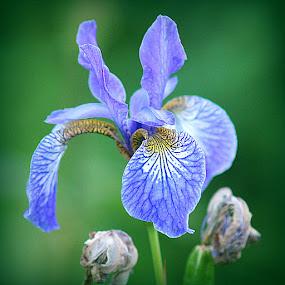 iris by Caroline Beaumont - Flowers Single Flower ( iris )