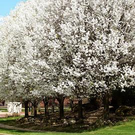 Blossoming Trees  by Lynn Andrasko - City,  Street & Park  Neighborhoods
