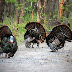Wild turkey dance by Zoran Mrđanov - Animals Birds ( turkey dance,  )