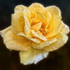 Yellow Rose by Abdul Rehman - Instagram & Mobile iPhone ( natural light, rose, nature, dew, nature up close, dew drops, light, mother nature, yellow flower )