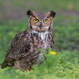 Great Horned Owl  by Khodr Chehab - Animals Birds ( bird, bird of prey, florida, greathornedowl, owl, wildlife, birds, wellingtonfl, united states, owls )