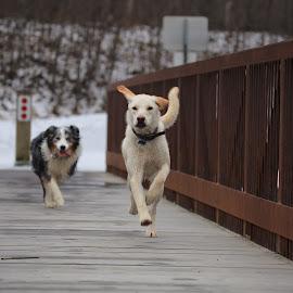 Play time by Sabra Neyman - Animals - Dogs Running ( canon, canon 6d, alaskan photographer, dogs, alaskan photography, alaska, canon photography, bridge, dog )