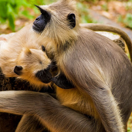 Mother's Love by Sukheenath Kotte - Animals Other ( animals, mother, wildlife photography, monkeys, true love )