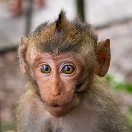 Baby Monkey by Sam Swindells - Animals Other Mammals ( monkey, baby monkey, mammal, baby, ubud, portrait, cute, eyes,  )
