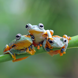 Friendship by Kurit Afsheen - Animals Amphibians ( animals, macro photography, indonesia, tree frog, amphibian, toad, frogs, animal )