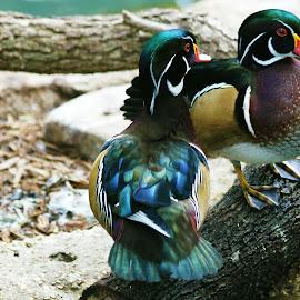 by Melinda Lee - Animals Birds (  )