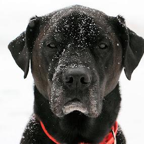 Snowy Day by Sandy Considine - Animals - Dogs Portraits (  )