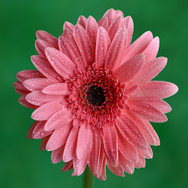 Pink Gerbera flower by Jim Downey - Flowers Single Flower ( pink, green, wet, black, petals )