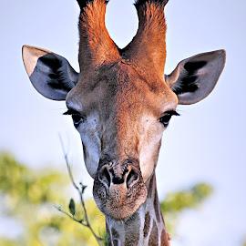 Giraffe Portrait by Pieter J de Villiers - Animals Other