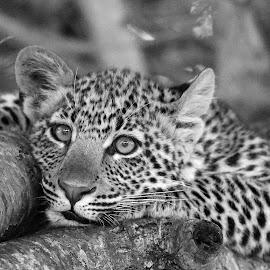 A Leopards Place! by Anthony Goldman - Black & White Animals ( big cat, wild, predator, tree, nature, serengeti, wildlife, b & w, tanzania, cub, leopard, east africa,  )