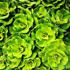 Green Veggie by Steven De Siow - Food & Drink Fruits & Vegetables ( green, nature, green vegetable, vegetation, vegetables,  )