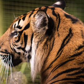 Sigh by Marc Steele - Animals Lions, Tigers & Big Cats ( orange, critters, cat, animals, mountain, tiger, welsh mountain zoo, wales, wildlife, cymru, coast, colwyn bay, zoo, outdoors, black, animal )