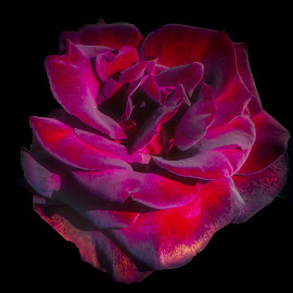 Velvety Rose by Dave Walters - Digital Art Things ( artistic, lumix fz2500, velvety rose, courtney farms, colors )