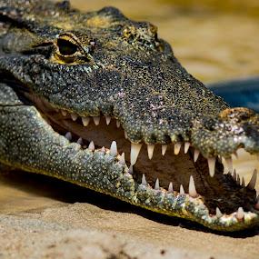 by Bea Welsh - Animals Reptiles ( water, predator, crocodile, teeth, large,  )