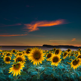 gira,gira,giros,girassois by Familia Neves - Landscapes Prairies, Meadows & Fields ( field, sunset, sunflowers, tournesol, sunflower, sun, fields )