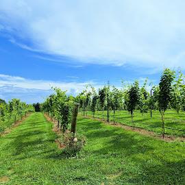 Vineyards by Sangram Jadhav - Landscapes Travel ( brewery wine classic, vineyard, grapevine )