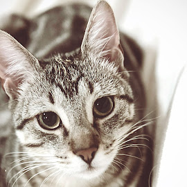by Brook Kornegay - Animals - Cats Portraits (  )