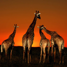 I just love these sunsets! by Marc Rossmann - Digital Art Places ( sunset, girraffe )