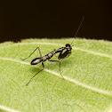 Ant-mimic Mantis nymph