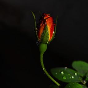 Stand Alone by Priyank Jha - Nature Up Close Flowers - 2011-2013 ( nikkor 18-55mm vr kit lens, rose, nikon d5100, nature, low key, india, close up, nikon sb700, flower )