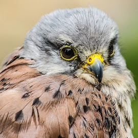 Kestrel by Garry Chisholm - Animals Birds ( bird, raptor )