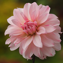 by Carmen Quesada - Flowers Single Flower ( single, pretty, natural, dahlia pink, flower,  )