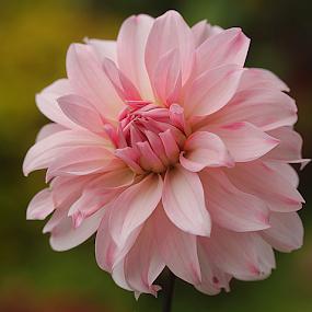 by Carmen Quesada - Flowers Single Flower ( single, pretty, natural, dahlia pink, flower,  )