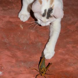 by Sergio Tohtli - Animals - Cats Playing ( artrópodos, perros gatos y mascotas, rancho aluxes )