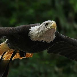 BaldEagle by EH Soh - Animals Birds