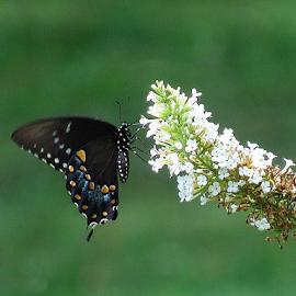 Black Swallowtail  by Cathy Elliott-Burcham - Novices Only Wildlife (  )