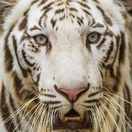White Tiger by Manoj Kumar Vittapu - Animals Lions, Tigers & Big Cats ( big cat, wild, predator, animals, white tiger, tiger, hunting, wildlife, india, eyes )