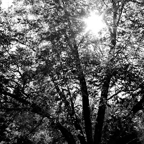 The Sun Will Rise by Michelle Baity - Nature Up Close Trees & Bushes ( contrast, tree, nature, outdoors, bw, blackened white, light, sun, branches )