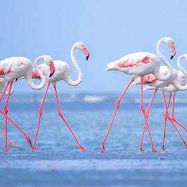 The Group March by Hitesh Parmar - Animals Birds ( bird, nikonasia, flamingos, nikond5100, hp_clicks, nikon )
