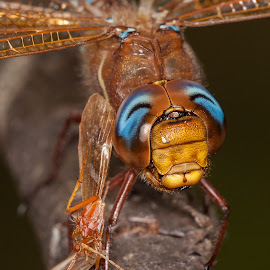 The brown hawker (Aeshna grandis) by Jari Johnsson - Animals Insects & Spiders