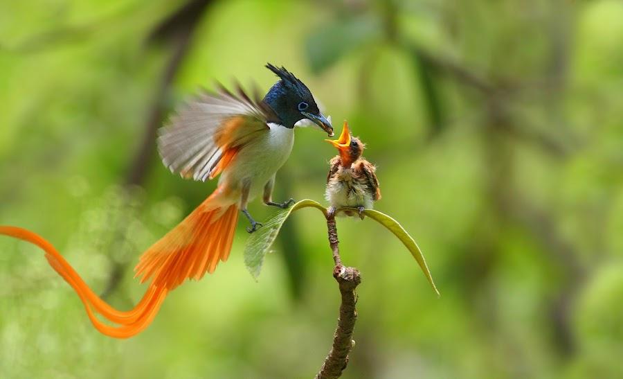 bird of paradise by Zahoor Salmi - Animals Birds ( animals, nature, wildlife, fantastic wildlife, zahoorsalmi, birds )