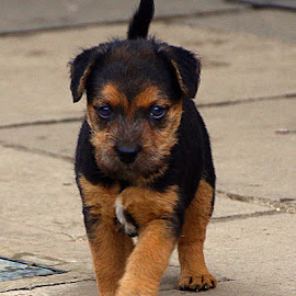 Determined Little Fella by Chrissie Barrow - Animals - Dogs Puppies ( pup, lakeland terrier, tail, eyes, pet, ears, fur, puppy, legs, dog, nose, tan, black )