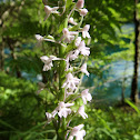 Fragrant Orchid White