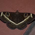 Cream striped owl moth